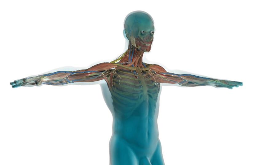 human-anatomy-half